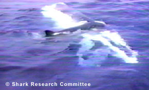 ' ' from the web at 'http://sharkresearchcommittee.com/images/near-side-slide.jpg'